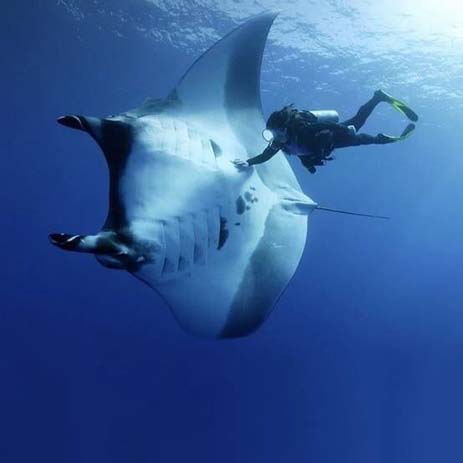 Diving with a manta ray in Maldives. Photo by Taylor Adams, flikr