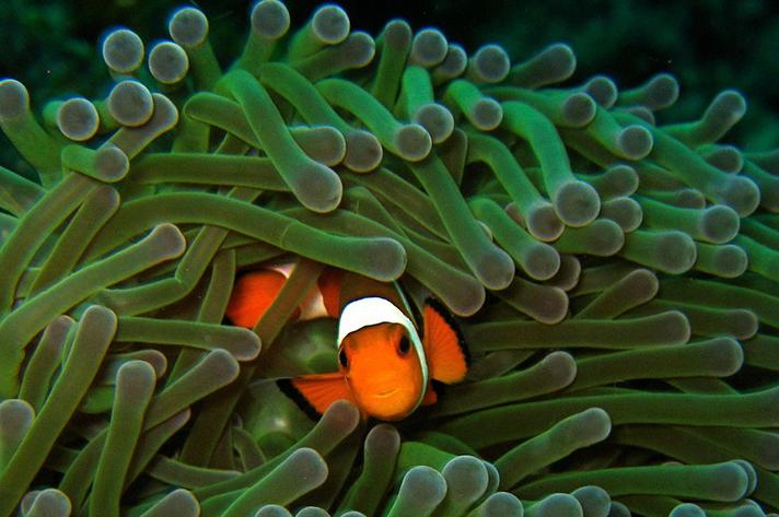 Incredible places to dive around the world: Clownfish among some green sea Anemone, Redang Island. Photo by Malisimo, flickr