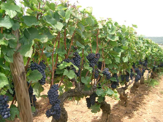 See the Pinot noir vines in Santenay. Photo by wikimedia.org