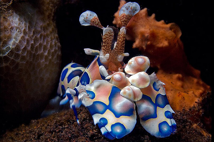 Incredible places to dive around the world: Harlequin Shrimp found during a night dive in Seraya Bali. Photo by Doug Anderson, flickr