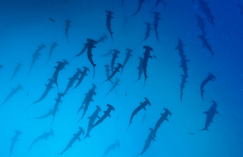 Incredible places to dive around the world: Submerged below a school of Hammerheads at Galapagos Islands. Photo by Alexader Safonov