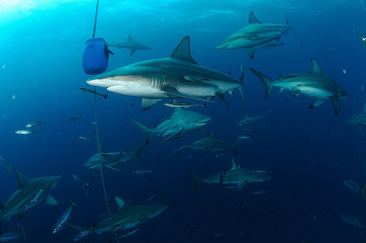Incredible places to dive around the world: The sardine run. Oceanic blacktip sharks at Aliwal Shoal, South Africa. Phot by Alexander Safonov