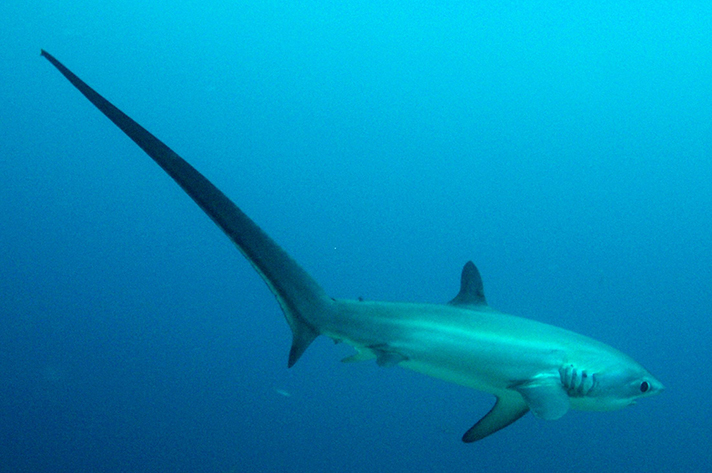Thresher sharks are in abundance on Malapascua. Photo by Project Aware