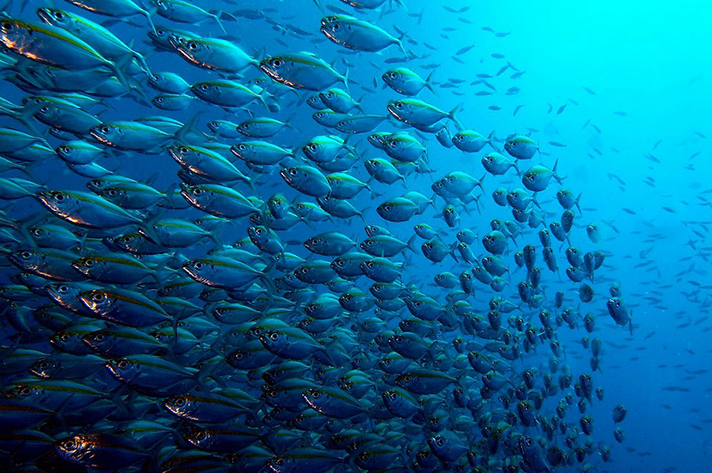 Incredible places to dive around the world: Yellowstripe scad, Koh Tao. Photo by _takau99,flickr