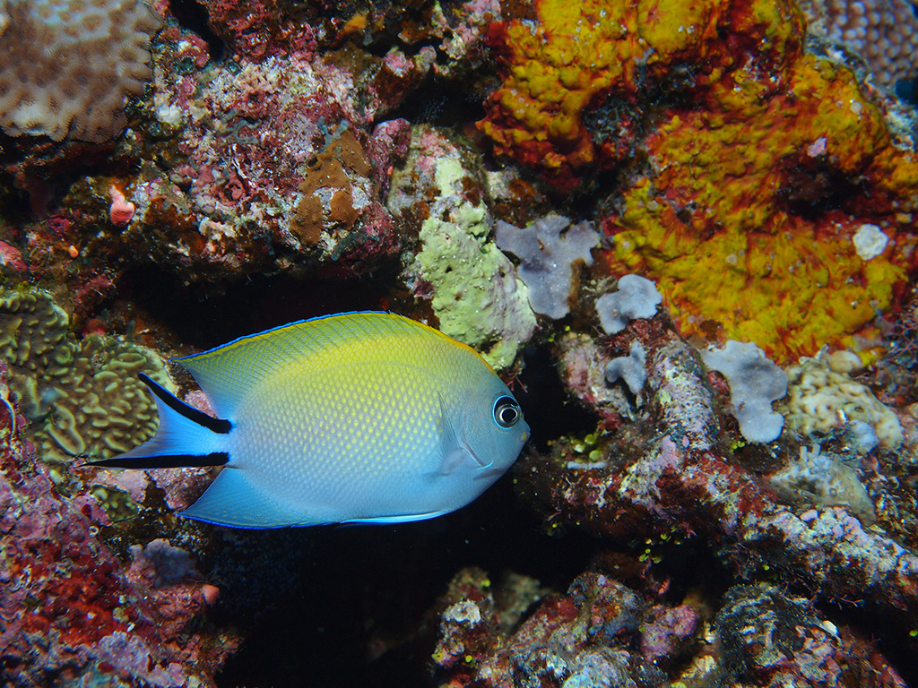 5 places to find the best diving in Fiji: Beautiful coral and fish in Taveuni. Photo by Jun...z, flickr