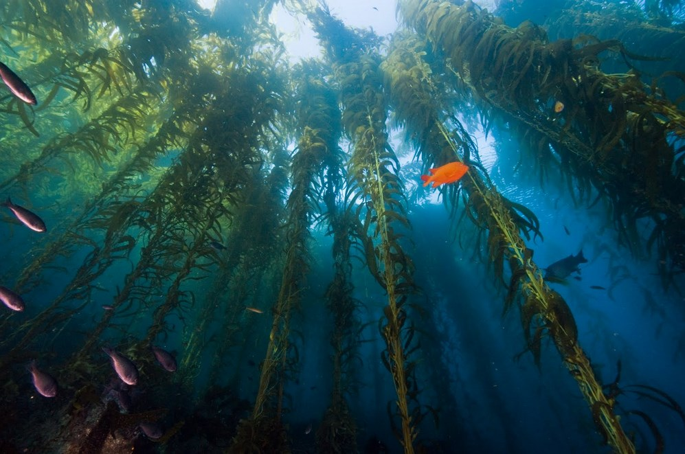 diving in kelp forests in California: The giant kelp forest offshore of California. Photo by, brettseymourphotography.blogspot.com
