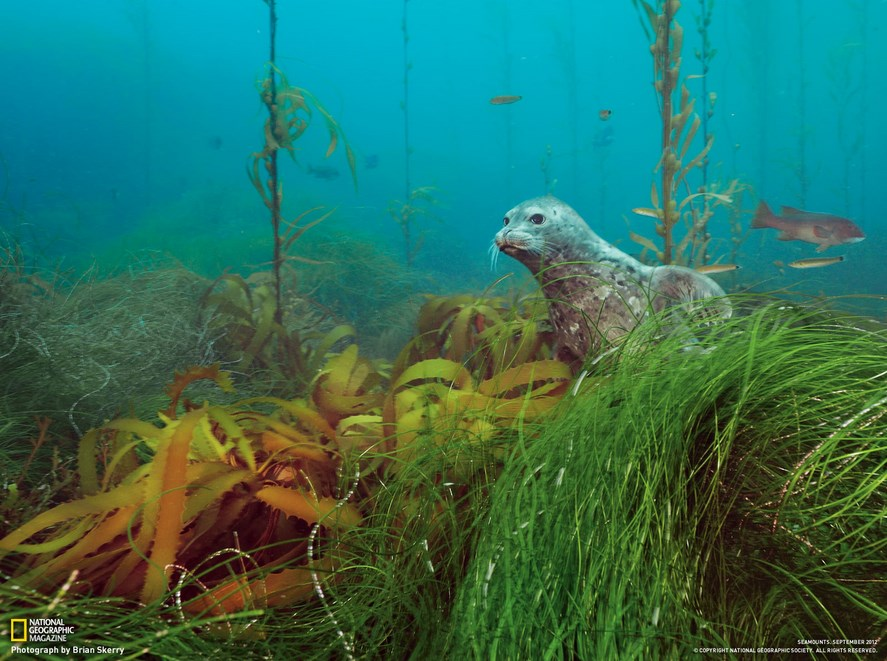 diving in kelp forests in California:A sea lion in its natural habitat. Photo by nationalgeographic.com