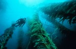 Scuba diving in kelp forests in California