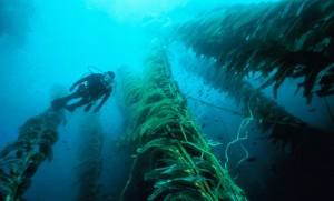 diving in kelp forests in California:A scuba diver amongst the kelp stalks. Photo by, tcm friends.com