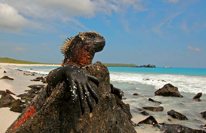 Marine Iguanas are another famous resident of the islands. Photo by blinking idiot, flickr