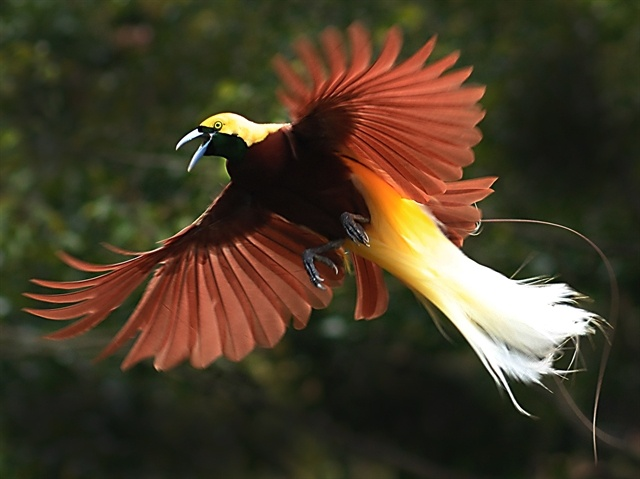 Some birds of paradise can only be found in the Raja Ampat islands. Photo by markaharper1, Flickr (2)