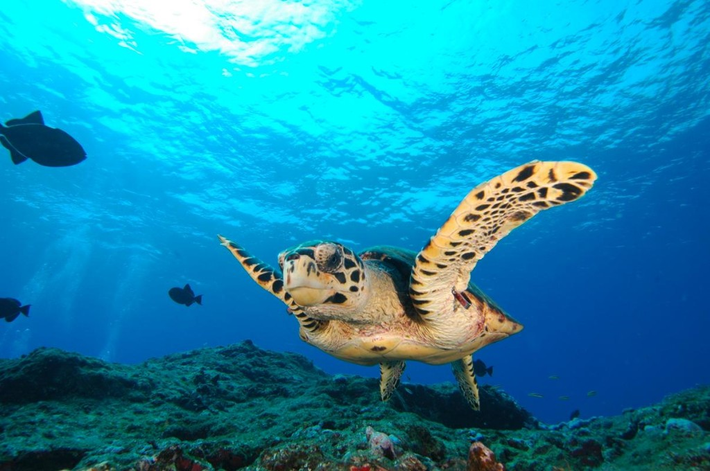 Meet friendly sea turtles. Photo by natalpraias.com