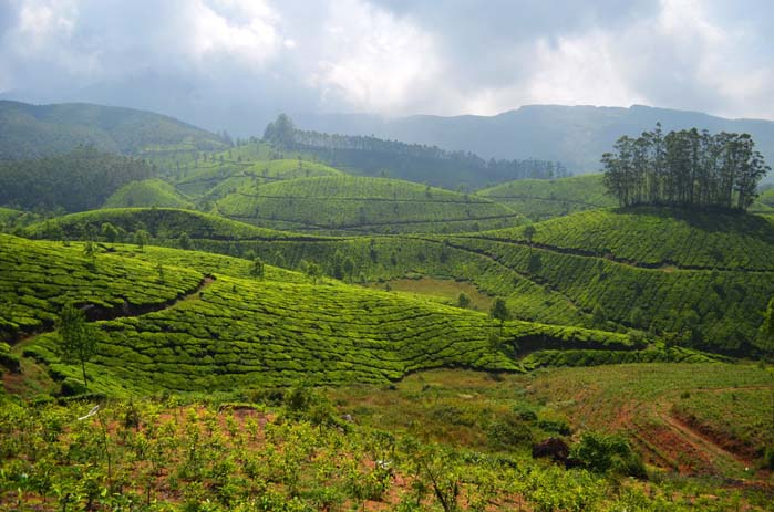 Tea fields of Munnar. Photo by Liam Taylor.  r