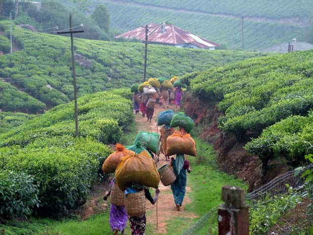 Tea pickers finishing their day in Munnar. Photo by jonbrew, Pinterest.