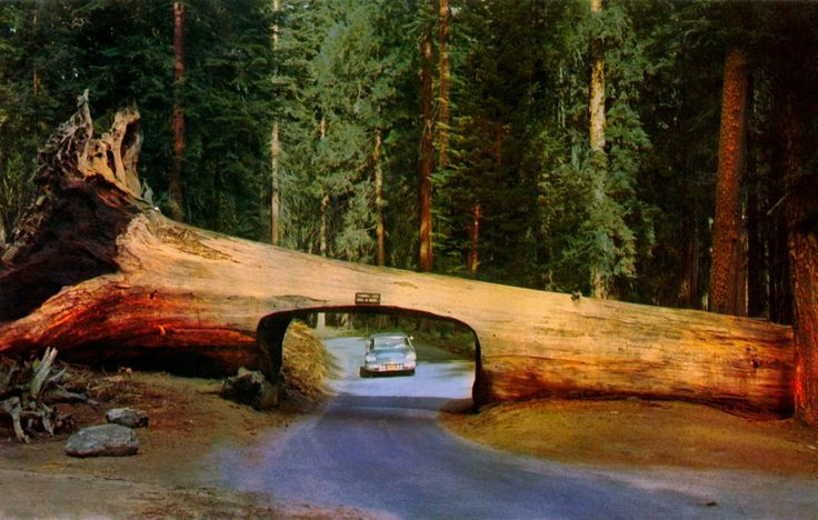 Tunnel Log in Sequoia National Park, California. Photo by Anuradha Ghose, Pinterest