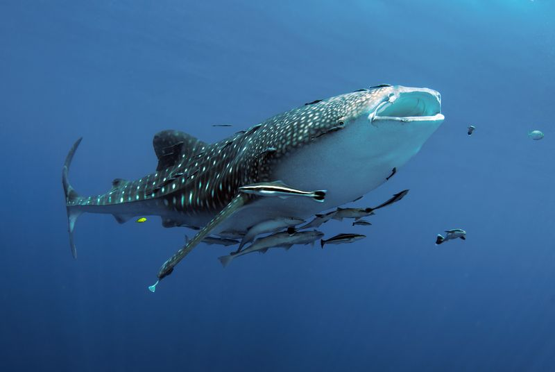 Whale sharks freqently stop off for a quick feed in Raja Ampat. Photo by Constantine Alexander