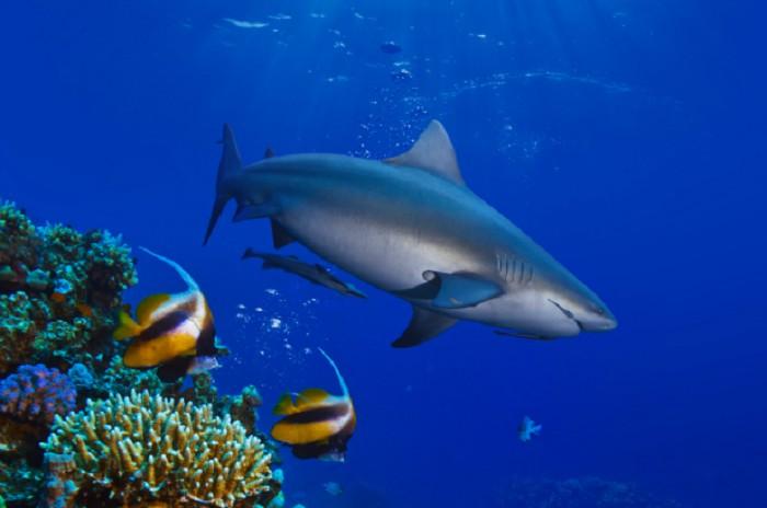 Bull Sharks: Beqa Lagoon, Fiji
