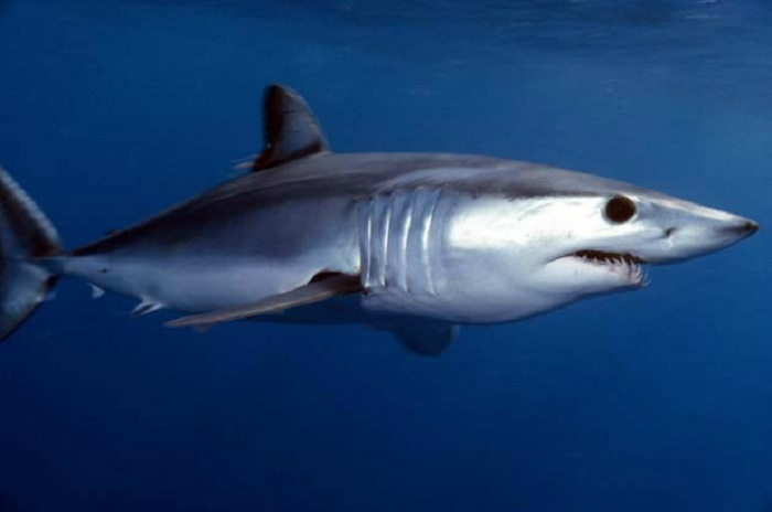 Shortfin Mako Sharks: The Southern California Coast, USA