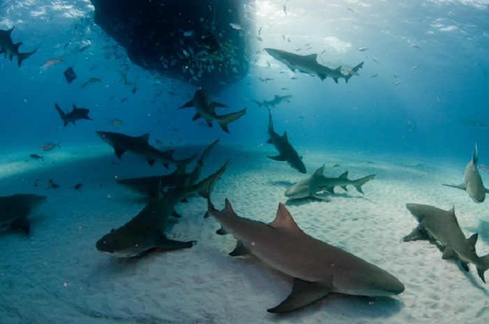 Lemon Sharks: The Florida Coast, USA