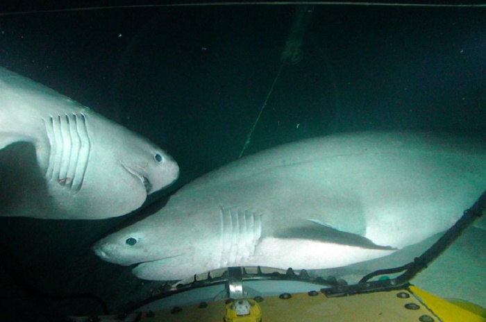 Six-Gill Sharks: The Cayman Trench, Honduras