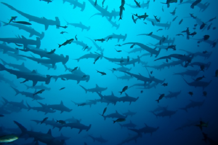 Hammerhead Sharks: Galapagos Islands, Ecuador