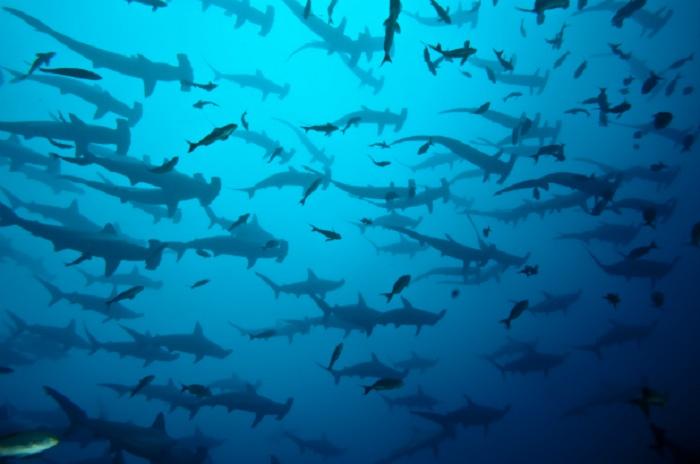 Hammerhead Sharks: Galapagos Islands, Ecuador