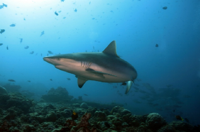 Grey Reef Sharks: The Maldives