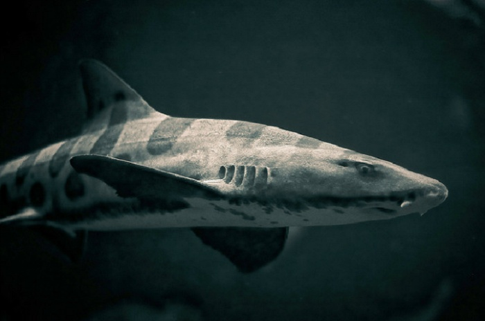 Leopard Sharks: The Coral Sea, Australia