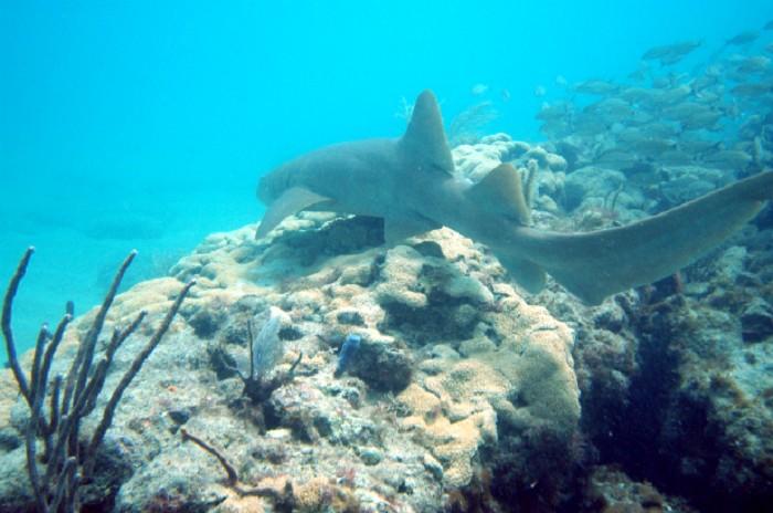 Tawny Nurse Sharks: Similan Islands, Thailand