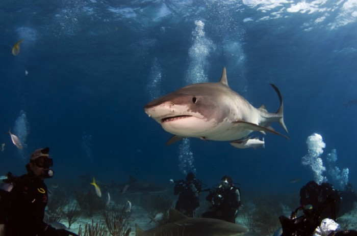 Tiger Sharks: The Bahamas