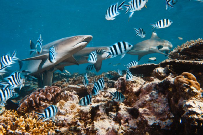 Whitetip Reef Sharks: Oahu, Hawaii, USA