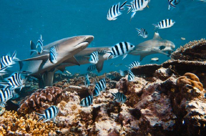 Whitetip Reef Sharks: Oahu, Hawaii, USA
