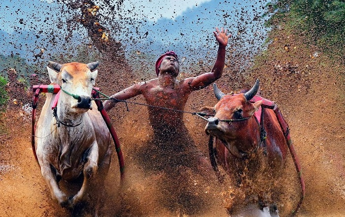 Racing bulls is a tradition through many Indonesian cultures. Photo by Hendra Nas