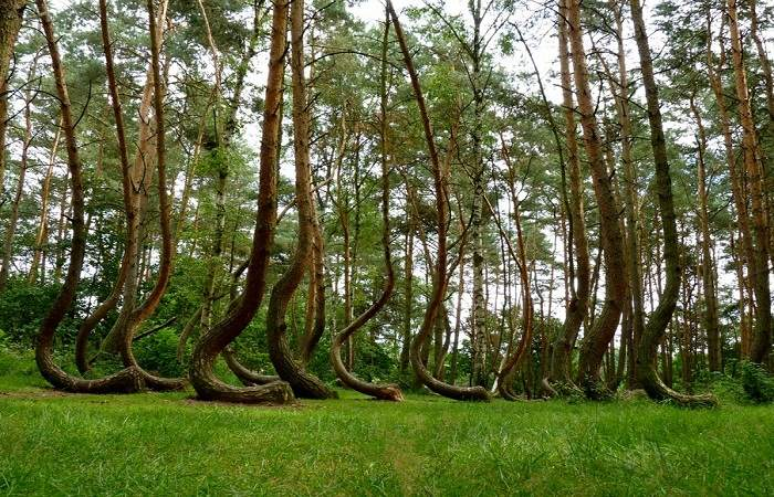 The mysterious crooked trees of the Gryfino Forest. Photo by, shedexpedition.com