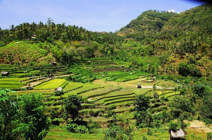 Rice fields on Bali's east coast nearby Kareng Asem. Photo by Riana Ambarsari, Flickr
