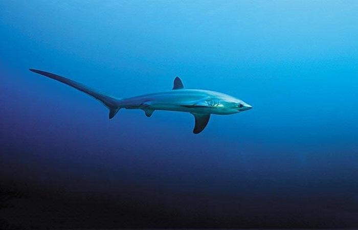 Malapascua: Thresher shark.