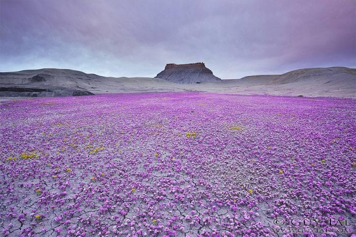 desert badlands parterre fleurs rose