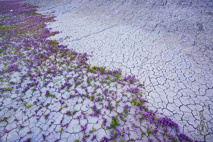 photos of Dakota's Badlands blooming