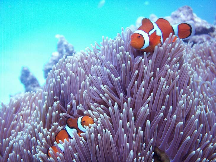 Clownfish in coral at the Great Barrier Reef. Photo by KmrksY, flickr
