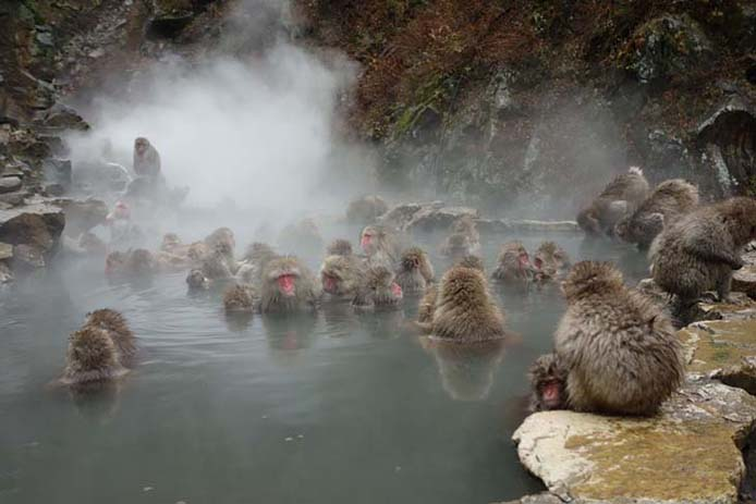 Monkeys like the springs as well, Jigokudani Monkey Park. Photo via merleshop