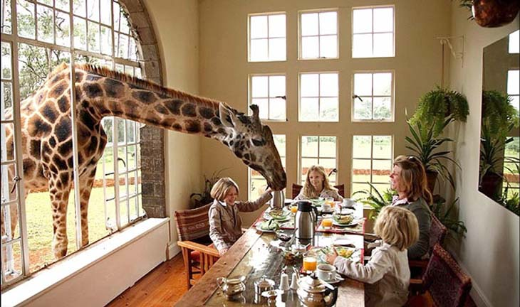 Curious and hungry giraffe poke their heads in a meal times. Photo by south-african-lodges.com