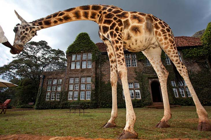 Watch giraffe roam the surrounding grounds of Giraffe Manor. Photo by naturalworldsafaris.com
