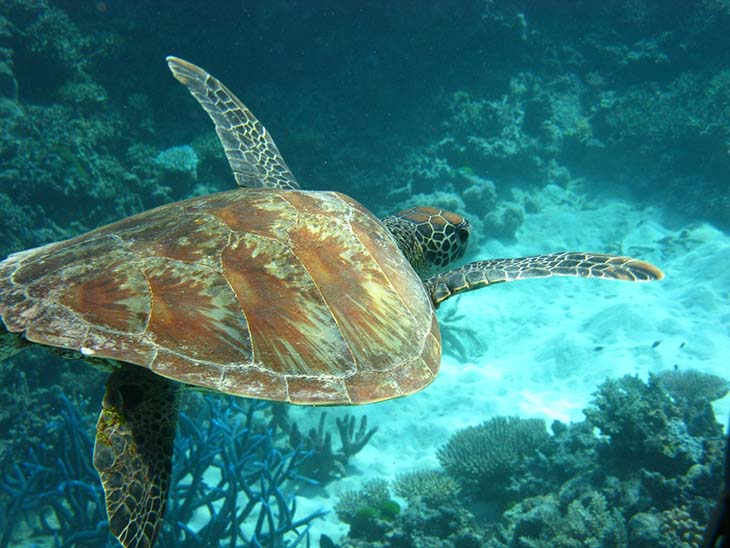 A lone sea turtle swimming in the reef. Photo by University of Denver, flickr