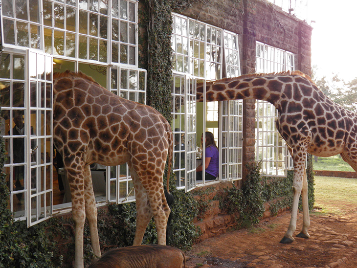 Curious giraffe make themselves at home at Giraffe Manor. Photo by tripadvisor.com